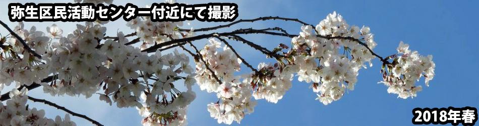 弥生区民センター前の桜